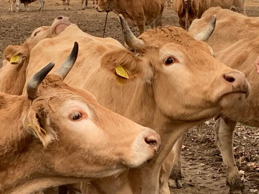 bovine varzesi